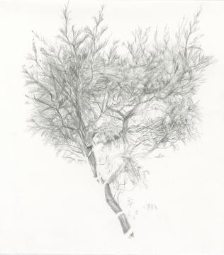 grevillia